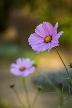 "Постер, картина, фотообои ""pink flower in the garden"""