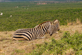 Zebra in the Addo Elephant National Park © Norbert Baum