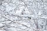 Snowfall. The branches of the trees are covered with snow. Cold winter morning, snowy landscape with tit - 232894668
