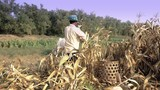 farmer picking corn by hand and throwing it into a bamboo basket - 232902678