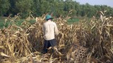 farmer picking corn by hand and throwing it into a bamboo basket - 232909270