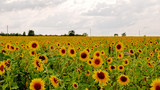 Field of sunflowers in cloudy weather