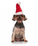 santa toy yorkie with santa hat sitting - 232924276