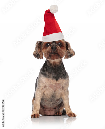 santa toy yorkie z santa hat posiedzenia