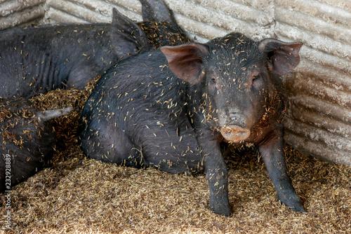 czarne małe świnki w gospodarstwie
