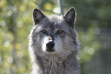 Wolf, Rocky Mountains Wolf, Canis lupus