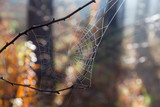 Spider web in autumn forest with dew close-up - 232930048