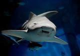 Zebra shark or Leopard shark (Stegostoma fasciatum) close-up with suckerfish (Remora remora) under sea water  - 232930612