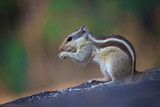 Squirrels are members of the family Sciuridae, a family that includes small or medium-size rodents. The squirrel family includes tree squirrels, ground squirrels, chipmunks, marmots, flying squirrels, - 232960845