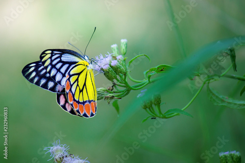 Foto Murales Beautiful Indian Jezebel Butterfly sitting on the flower plant in its natural habitat
