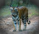 Wild tiger, Bandhavgarh National park, India