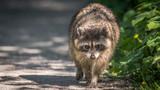 Raccoon - 232978878