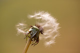 Close-up of a dandelion seed head. Beautiful Dandelion - 232990674
