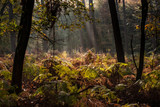 Open place in the woods covered with forest ferns and lit with sun rays - 232994016