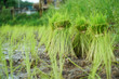 Leinwandbild Motiv Rice fields landscape in southern of Thailand