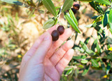Hand picking ripe olives from olive tree