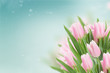 close up of soft pink fresh tulips on blue sky background