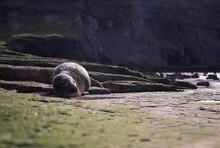 "Постер, картина, фотообои ""seal on rock"""