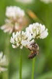 L'abeille - 233010040
