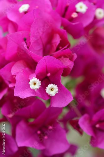 Purple bougainvillea Alexandra - 233016271