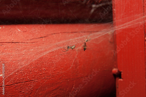Spider in web with catch at house - 233020828
