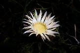White Carlina acaulis - 233024268