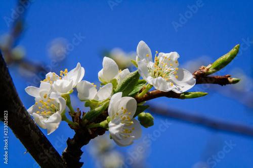 Foto Murales Blooming apple tree