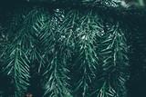 Christmas background. Green fir tree. - 233030062