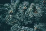 Christmas background. Green fir tree. - 233031632