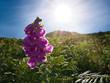 Leinwanddruck Bild - Die Sonne durchleuchtet eine lila Blume im Gras