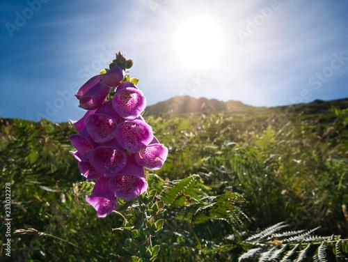 Leinwanddruck Bild Die Sonne durchleuchtet eine lila Blume im Gras