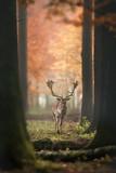 Deer in misty Autumn Forest - 233033069