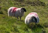 Schafe mit dickem Fell auf einer Wiese in Irland - 233033087