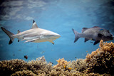 Beautiful black tip reef shark from Indonesia - 233038442