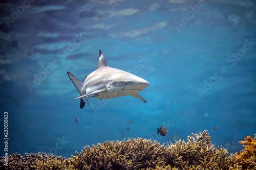 fototapeta na ścianę Beautiful black tip reef shark from Indonesia