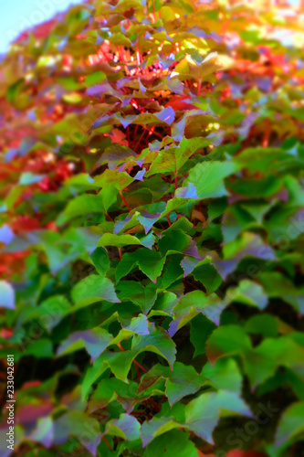 abstract look of common ivy wall, autumn multicolored hedera helix climbing on a concrete wall