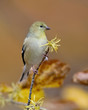 American Goldfinch (Spinus tristis) in winter plumage perched on a witch hazel branch