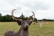 Deer in the Park - 233059040