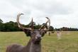 Deer in the Park - 233059040