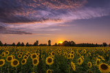 The sunflower (Helianthus annuus) is a species of the genus of sunflowers (Helianthus) in the daisy family (Asteraceae). Here during a countryside reception concept: flowers and plants