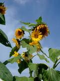 sunflower - Yili - Xinjiang I