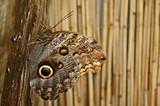 Tropischer Schmetterling - Waldeule
