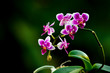 Orchids - Dark pink and white mini phalaenopsis orchid