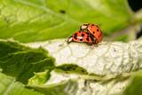 Harlequin, Asian ladybeetles (Harmonia axyridis) mating - 233080216