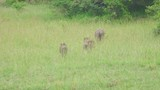 A family of warthogs scatter into the bushes after grazing on some tall grass - 233089610