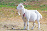 A goat in the field - 233097090