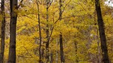 Yellow Autumn leaves gently rustle in the wind. Tranquil forest in the Fall. - 233097267