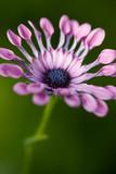 Dreamy closeup of blue and white daisybush - 233097878