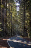 Sunbeams through tall trees in forest - 233104238