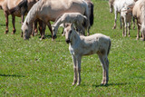 Horses with foals graze on green pasture. - 233134816